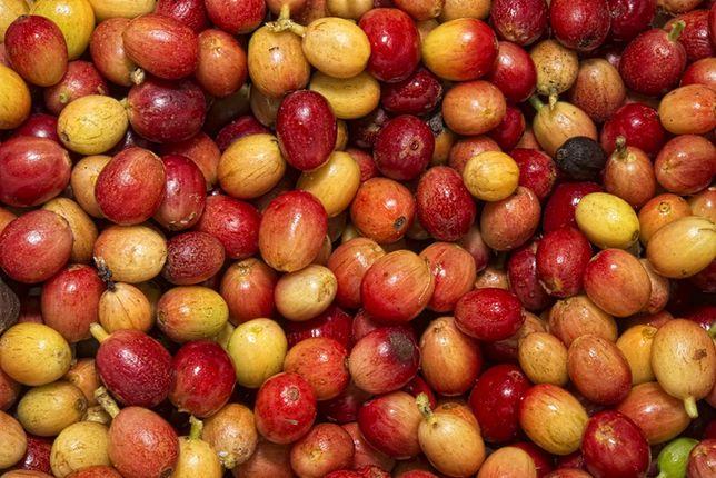 Mąka kawowa - kulinarny hit z owoców kawy