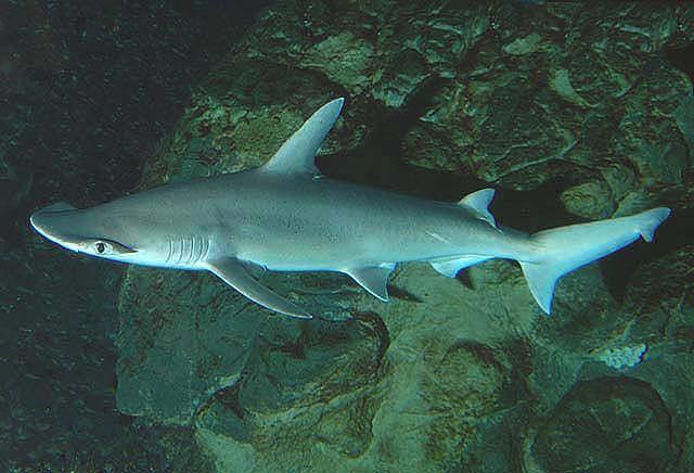 Rekin, który lubi jeść rośliny