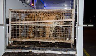 Tygrysy utknęły na granicy polsko-białoruskiej. Są w ciężkim stanie, były przewożone w złych warunkach