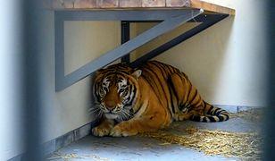 Tygrysy uratowane z transportu do Rosji dochodzą do siebie w poznańskim zoo.