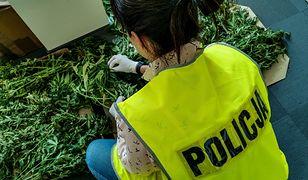 Białystok. Policja zlikwidowała plantację marihuany. Zawiadomili o niej pracownicy miejscowego muzem