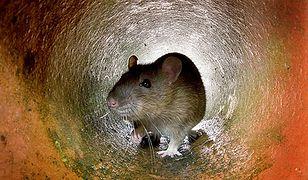 Kambodża: szczury pomogą w wykrywaniu min