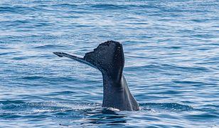 Tajlandia. Rybak znalazł wymiociny wieloryba. Mogą być warte fortunę