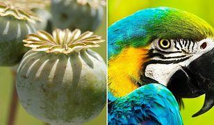 Papugi pustoszą plantacje maku. Są uzależnione od opium