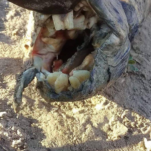 Przerażająca ryba z uzębieniem podobnym do ludzkiego. Znalezisko w Argentynie
