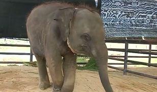 Fa Jam zamieszka teraz razem z innymi rannymi słoniami w prowincji Lampang