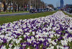 Bratki, stokrotki, krokusy. Tysiące kwiatów na ulicach Warszawy
