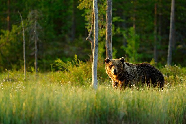 Dzięki fotopułapkom udaje się zarejestrować zwierzęta i ich naturalne zachowania