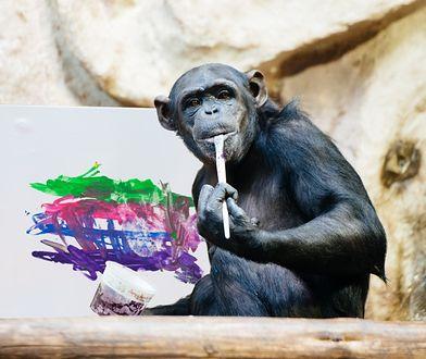 Obraz szympansicy Lucy wylicytowany w ramach WOŚP. Osiągnął zawrotną sumę