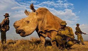 Jednym z najgłośniejszych przypadków wymarcia był ostatni nosorożec północny