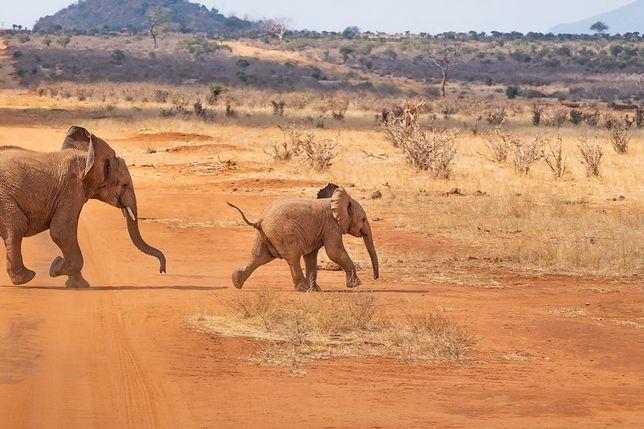 Podczas badań naukowcy obserwowali ponad 1000 słoni