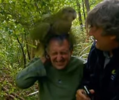 Sirocco, czyli kakapo, który zaatakował Stephena Fry i stał się memem
