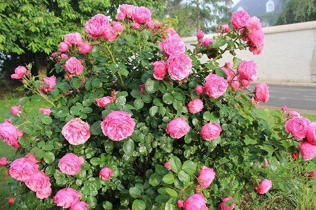 Kiedy sadzić róże? Nie zapomnij o ważnych wymaganiach.