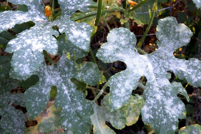Najczęstsze choroby grzybowe roślin ogrodowych