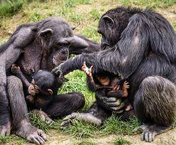 Po ludziach przyszedł czas na zwierzęta. Ruszają szczepienia w zoo