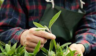 Jeśli roślina została częściowo zaatakowana przez chorobę, należy usunąć wszystkie porażone pędy czy konary.