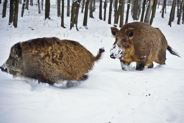Leśnicy przygotowują się do dokarmiania zwierząt zimą