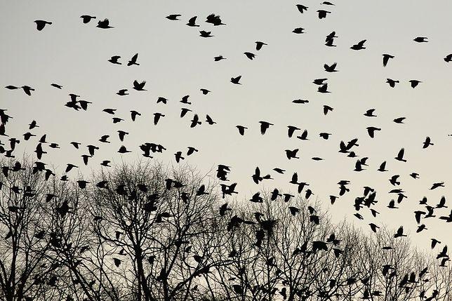 W miasteczku w Stanach Zjednoczonych ptaki zachowują się bardzo osobliwie