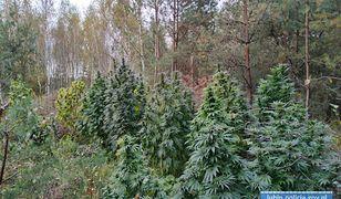 Narkotyki w środku lasu. Warte 0,5 mln zł