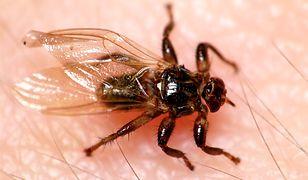 """""""Latające kleszcze"""" atakują. Lasy Państwowe ostrzegają przed małymi pasożytami"""
