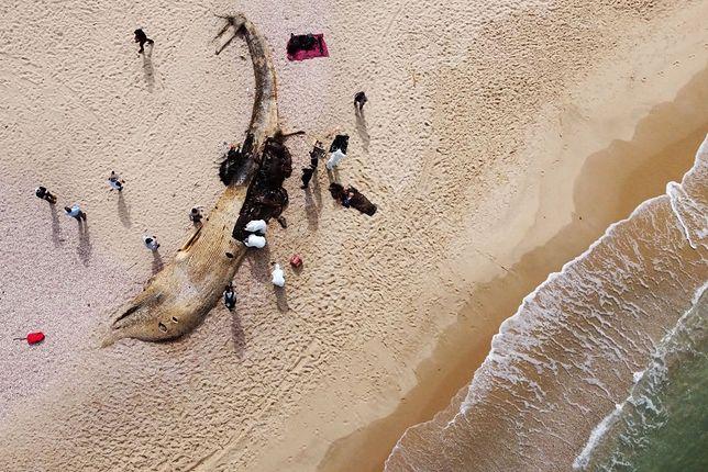 Izrael. Naukowcy badają ciało martwego płetwala wyrzucone z Morza Śródziemnego 21 lutego. W płucach zwierzęcia znaleziono czarną ciecz