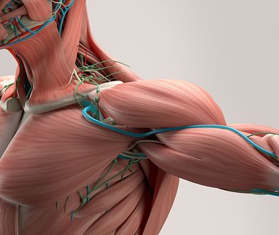 Mięśnie to kurczliwe narządy, które stanowią nieodłączny element narządu ruchu.