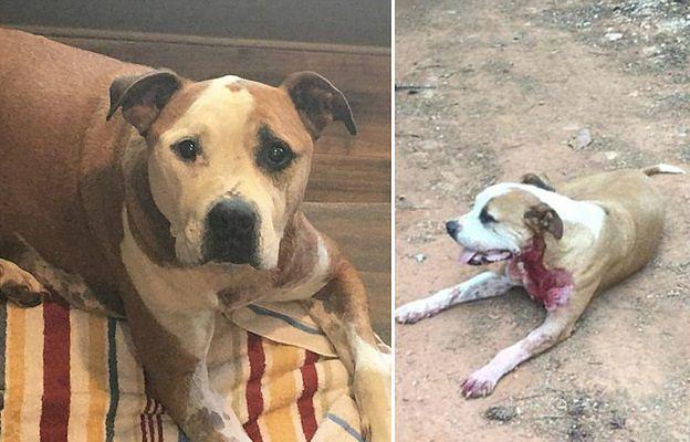 Bezpański pitbull, który ledwo przeżył atak nożownika, znalazł kochającą rodzinę