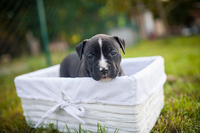 Szczeniak pięknego psa, za którego musisz zapłacić grube tysiące