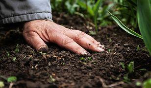 Gleba wymaga odpowiedniego spulchnienia