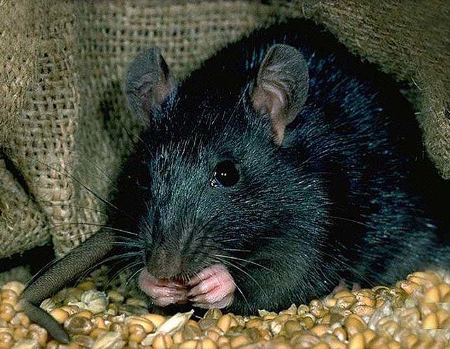 Szczury były uznawane za główną przyczynę szerzenia się czarnej śmierci. Ostatnie badanie podają w wątpliwość słuszność tej tezy.