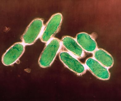 Bakterie wywołujące dżumę