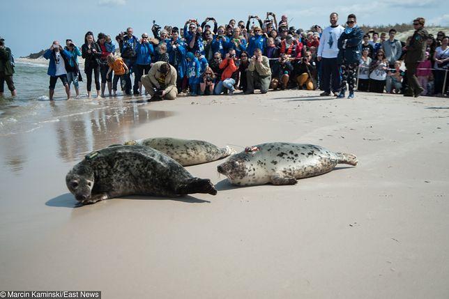Turyści grożą bojkotem nadmorskich smażalni ryb. To będzie ich zemsta za zabijanie fok