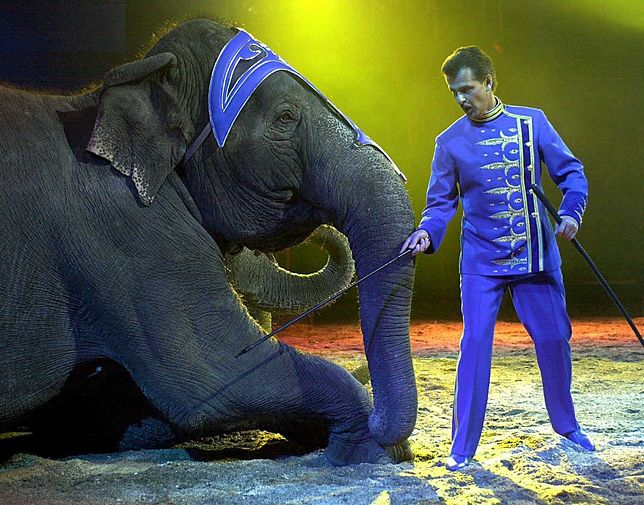 Rząd Danii kupi cztery ostatnie słonie, które są własnością tamtejszych cyrków