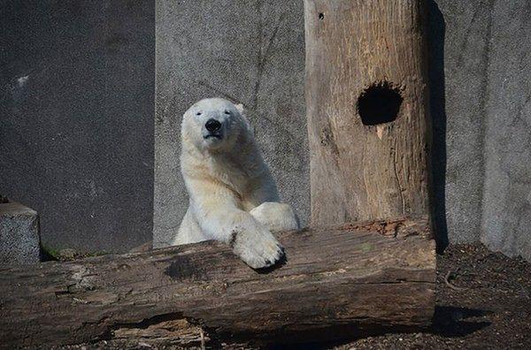 Wtargnął na wybieg dla niedźwiedzi w warszawskim zoo. Dostał krwawą nauczkę