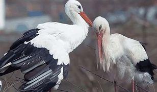 Malena i Klepetan mają bardzo udany związek i 62 pisklęta