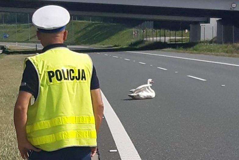 Nietypowa interwencja na autostradzie. Łabędź nie mógł się ruszyć z prawego pasa