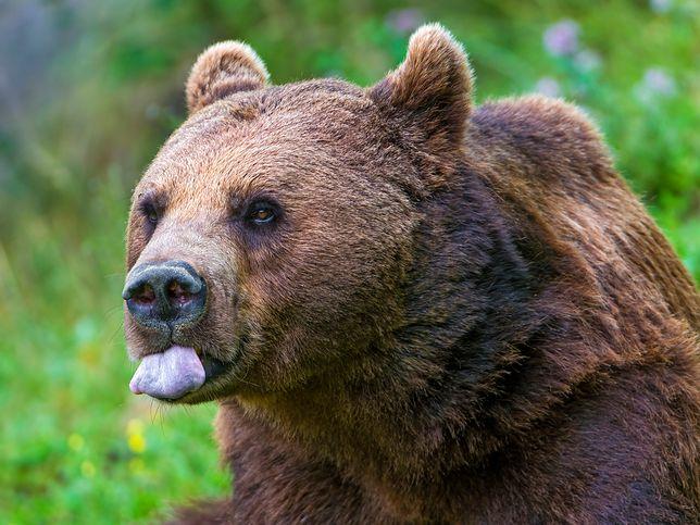 Niedźwiedź wszedł do domu i zdemolował kuchnię