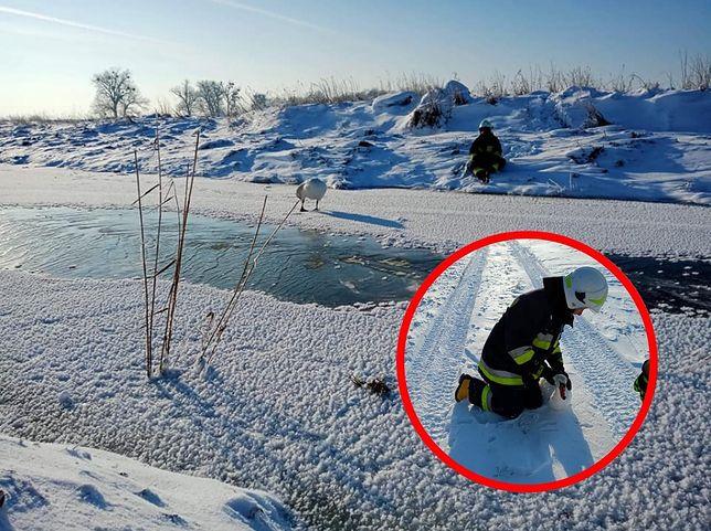 Warmińsko-mazurskie. Łabędzie na przymarzniętych jeziorach i rzekach (Fot.: OSP Sątopy-Samulewo/Facebook)