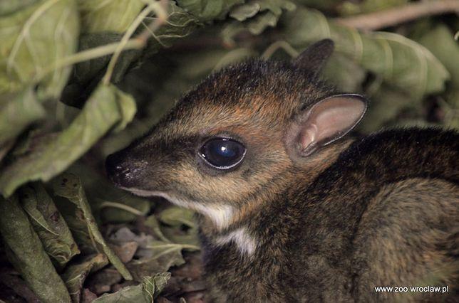 Myszojeleń we wrocławskim zoo