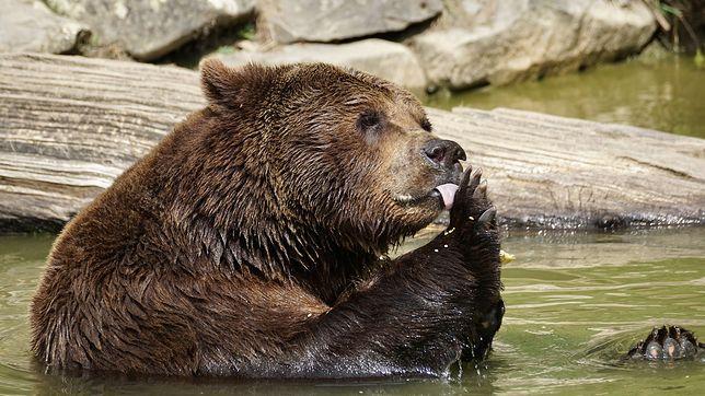 Dwa niedźwiedzie zastrzelone przez rosyjską marynarkę wojenną