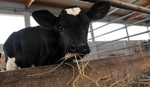 KE chce zakazu klonowania zwierząt hodowlanych w UE
