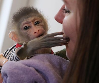 Małe małpy mogą być spokojne przez dwa lata. - Potem zaczynają się problemy - mówią nam hodowcy.