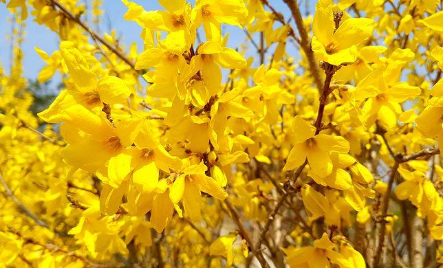 Pierwsze oznaki wiosny w ogrodzie. Krzewy, które kwitną najwcześniej