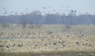 Ptaki w rejonie Ujścia Warty