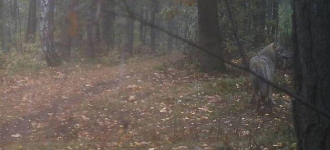 Wilki wróciły do Kampinoskiego Parku Narodowego. Po 50 latach!