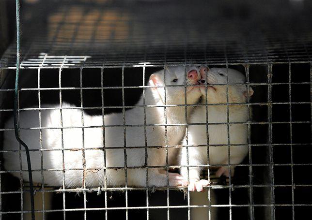"""Prawica kłóci się o zakaz hodowli zwierząt futerkowych. W tle ogromne pieniądze z USA, aborcja i """"lewactwo"""""""