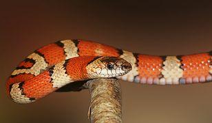 Sylwester 2020. Niemcy. Znaleziono skórę węża w jednym z domów. Może być groźny
