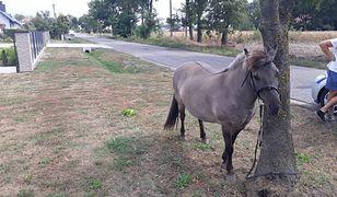 Koniem zaopiekowała się rodzina jeźdźca