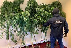Pomorskie. Plantacja marihuany w lesie