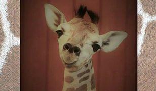 Znamy przyczynę śmierci żyrafka z warszawskiego ZOO